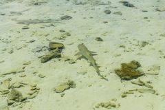 Small reef shark swims in transparent water of Indian ocean. Small reef shark swiming in transparent water of Indian ocean. Small reef sharks manage to overcome stock photos