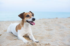 Small relaxing dog Stock Photography