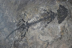 Small reptile fossil Royalty Free Stock Photo