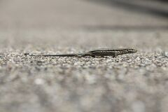 Small reptile on gravel