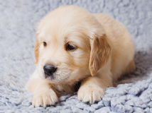 Small retriever puppy. Small cute retriever puppy lying on sofa Royalty Free Stock Images