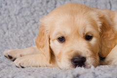 Small retriever puppy on gray background. Small sad retriever puppy on gray background Royalty Free Stock Photos