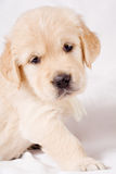 Small retriever puppy on gray background. Small pretty retriever puppy standing on white background Royalty Free Stock Photography