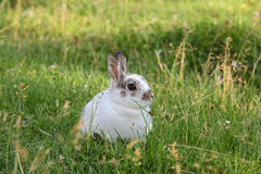 Small Rex Bunny Stock Photos