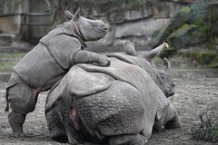 A small rhino plays with his mother stock photo