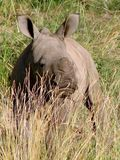 Small rhinoceros Royalty Free Stock Images
