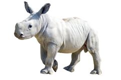 Small rhinoceros on a white background in a wildlife park in Fra Royalty Free Stock Photography