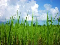 Rice plant stock image