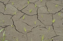 Small Rice Seedlinks Peeking out of Cracked Soil Royalty Free Stock Photography