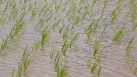 Small rice sprouts sway in farmland stock video