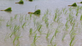 Small rice sprouts sway in farmland stock footage
