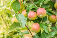 Apple tree on an orchard with green red apples royalty free stock photos