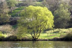 Old tree at river. A small river in Bavaria with green tree Royalty Free Stock Photo