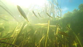 Small river fishes swimming between weed in fresh clean water under summer sun. Underwater video stock video
