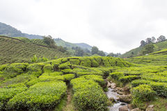 Small River Flow Through Tea Plantation At Cameron Highland Stock Photo