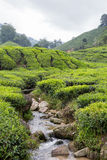 Small River Flow Through Tea Plantation At Cameron Highland Royalty Free Stock Images