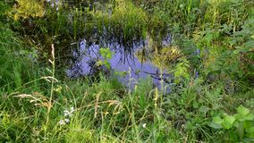Small river overgrown with reeds and duckweed in central Russia. Small river overgrown with reeds and duckweed in a central Russia stock footage