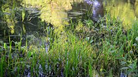 Small river overgrown with reeds and duckweed in central Russia. Small river overgrown with reeds and duckweed in a central Russia stock video footage