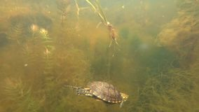 A small river turtle stock video footage