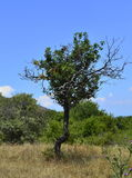 Small tree. A small tree on the hills of the Saint Achilles island in Prespes, Greece royalty free stock photos