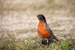Small Robin bird on the ground Stock Images