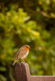 Small Robin bird Royalty Free Stock Photos