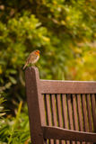 Small Robin bird Royalty Free Stock Images