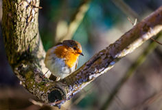 Small Robin bird Stock Photography