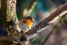 Small Robin bird Stock Photography