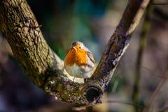 Small Robin bird Stock Photos