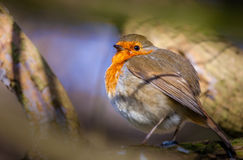 Small Robin bird Stock Images