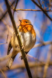 Small Robin bird Stock Photo