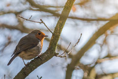 Small Robin in Golden Sunlight. Small British Robin, standing on a branch in a sunny day Royalty Free Stock Photo