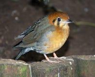 Small robin like bird Royalty Free Stock Photography