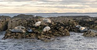 A small rock island with resting white and grey seals. stock photos