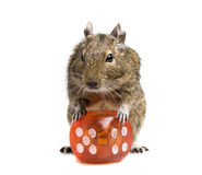 Small rodent with big dice cube. Small rodent standing with big dice cube full-length closeup isolated on white Royalty Free Stock Photo