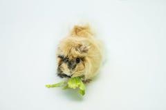 Small rodent eats fresh salad Royalty Free Stock Photography
