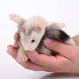 Small rodent ferret Royalty Free Stock Photos