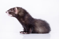 Small rodent ferret Royalty Free Stock Image