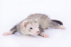 Small rodent ferret Royalty Free Stock Photo