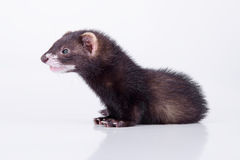 Small rodent ferret Stock Images
