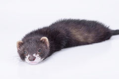 Small rodent ferret Stock Photo