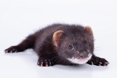Small rodent ferret. Small animal rodent ferret on a white background Royalty Free Stock Images