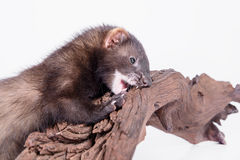 Small rodent ferret. Small animal rodent ferret on a white background. sharpening his teeth on a wooden snag Stock Image