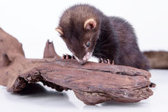 Small rodent ferret. Small animal rodent ferret on a white background. sharpening his teeth on a wooden snag Stock Images