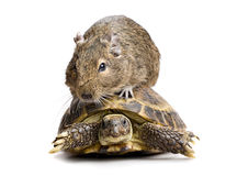 Small rodent riding turtle Stock Photo