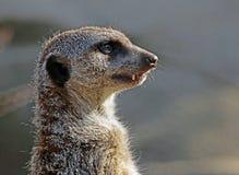 Meerkat close up portrait stock images