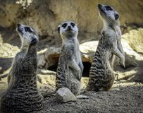 Meerkat close up portrait stock image