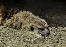 Meerkat close up portrait royalty free stock photo