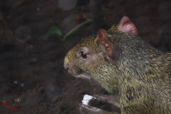 Small rodent Stock Images